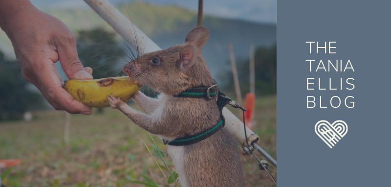 [The New Pioneers case] Apopo – Making rats man's best friend